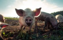 Robin Ganzert, CEO of American Humane, writes about the World Pork Expo and animal welfare